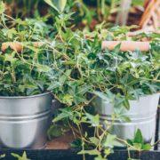 ivy growing in metal pots