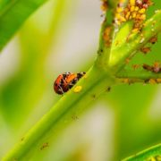 landbirds and aphids on a plant