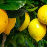 panoramic view of lemon fruits growing on a tree