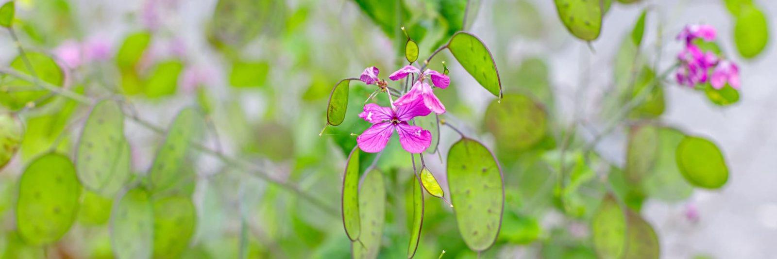 pink lunaria plant
