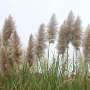 pampas grass swaying in the wind