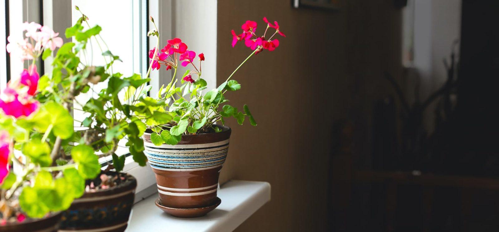 geranium pots on a windowsill