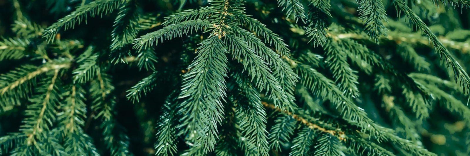 close up needles of a fir tree