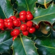holly branches and berries up close