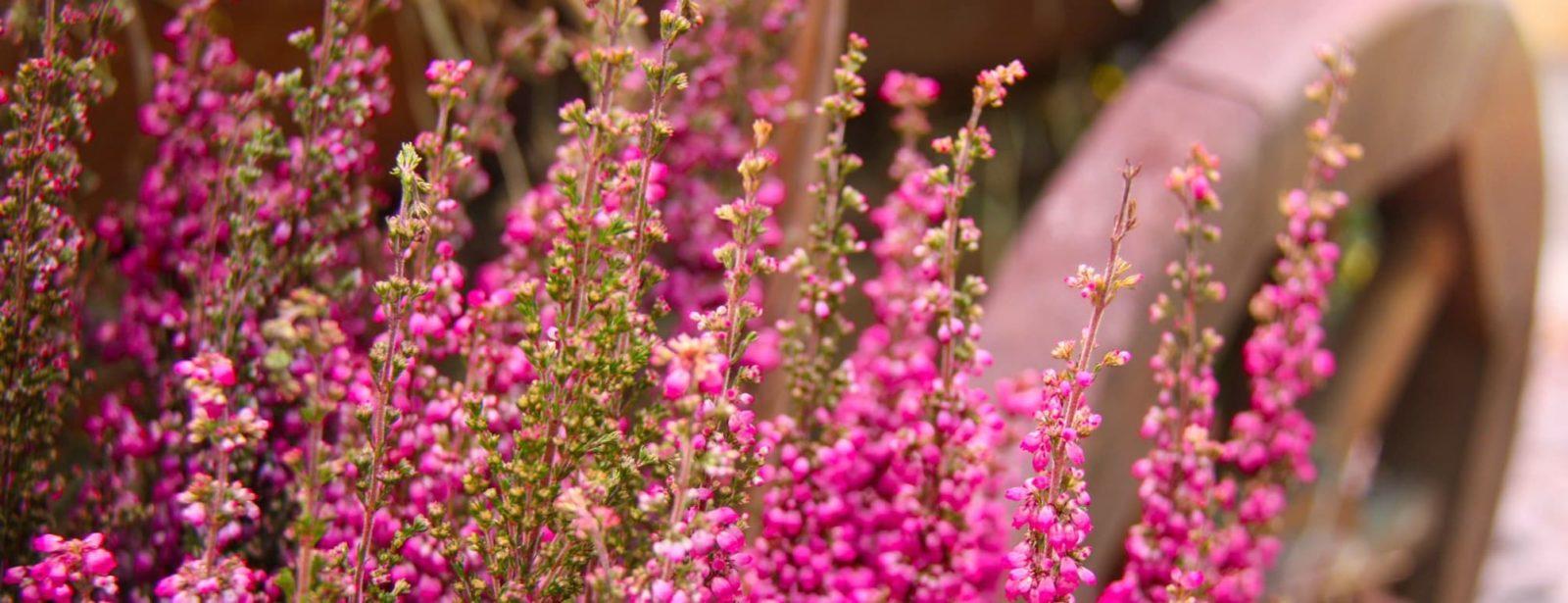 pink Calluna vulgaris heather