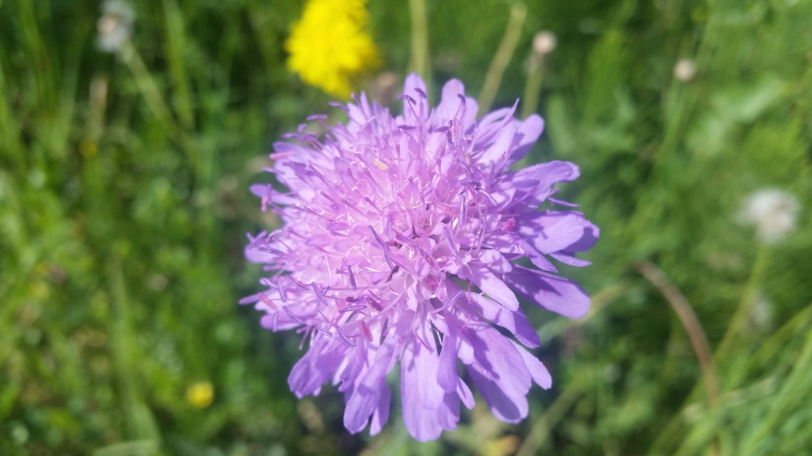 purple scabiosa pincushion flower