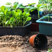 vegetable seedlings ready to be planted out