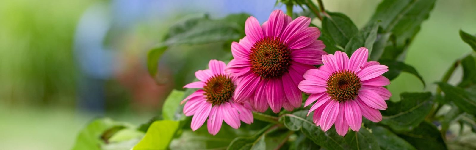 pink coneflowers in shade