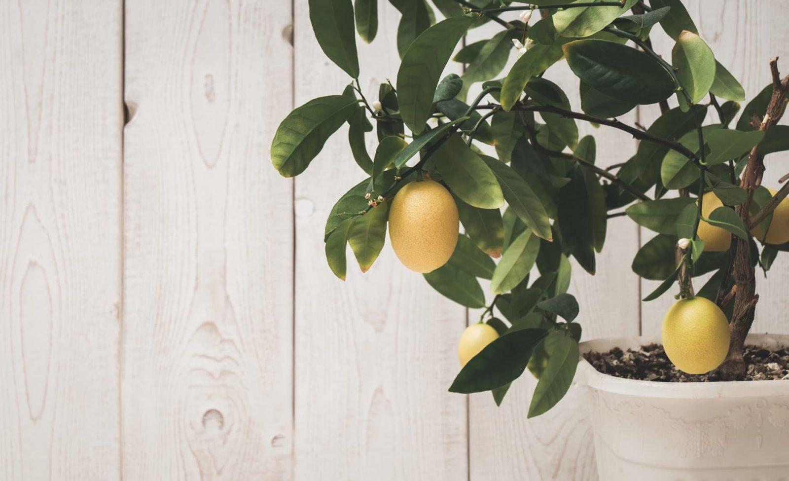 lemon tree in a grey pot growing indoors