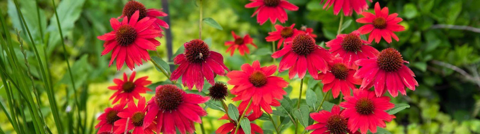 red coneflowers in a garden