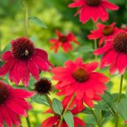 red coneflowers in a garden