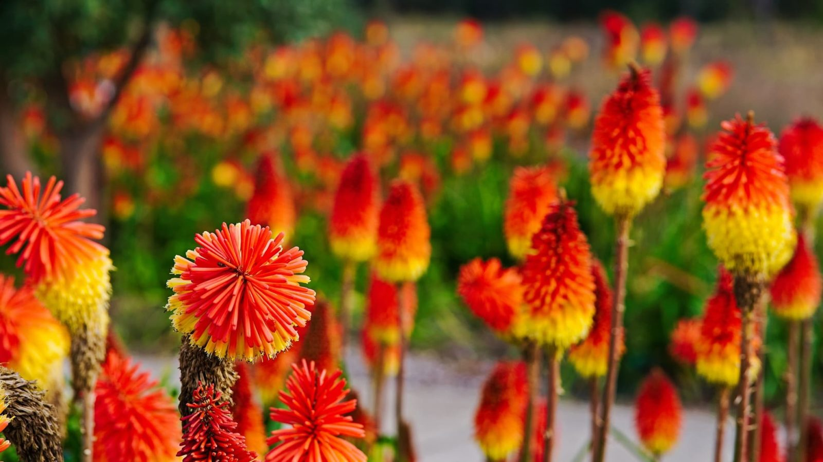 bright red and yellow torch lilies in an outdoor space