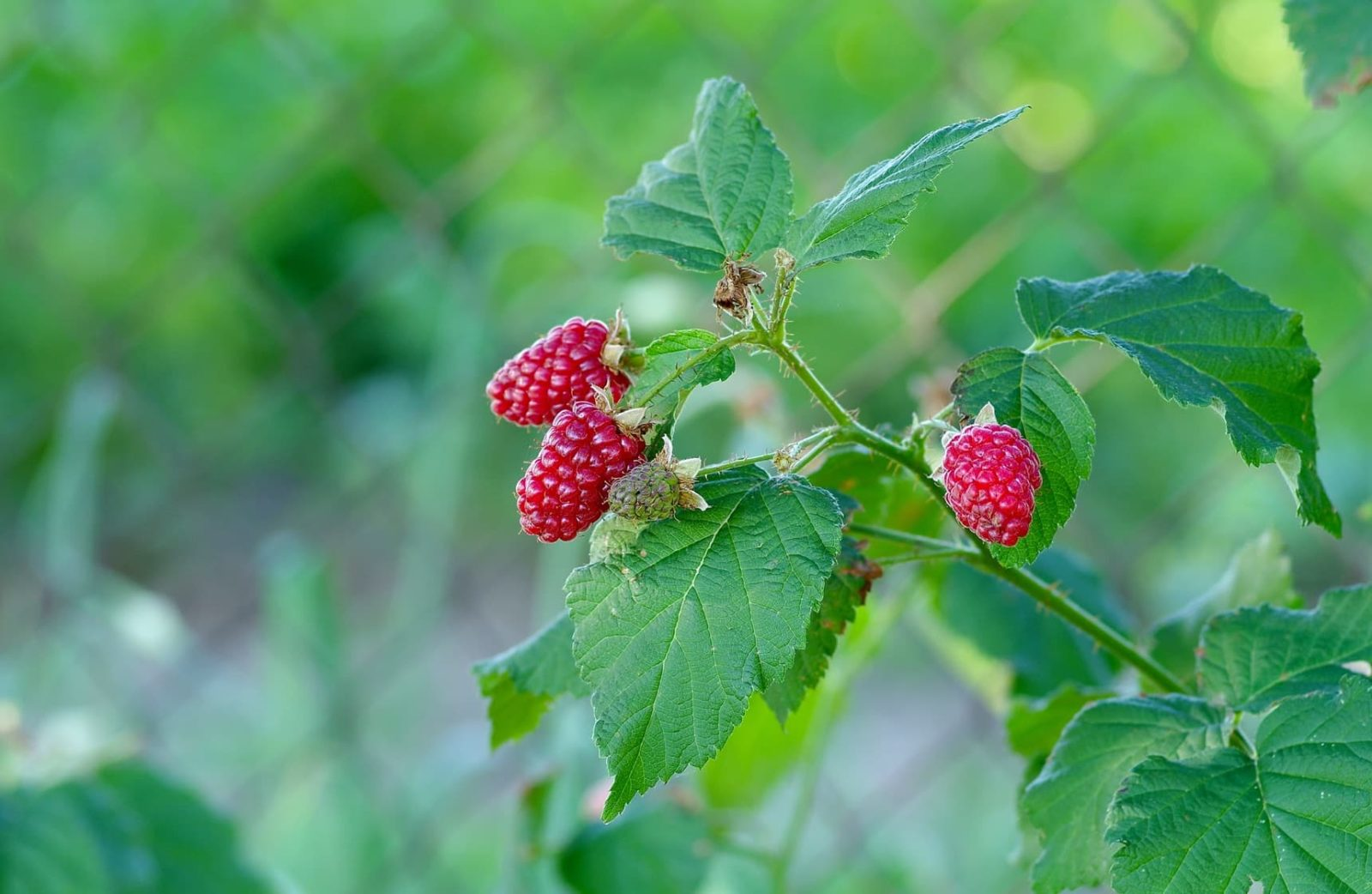 tayberry fruits on a branch