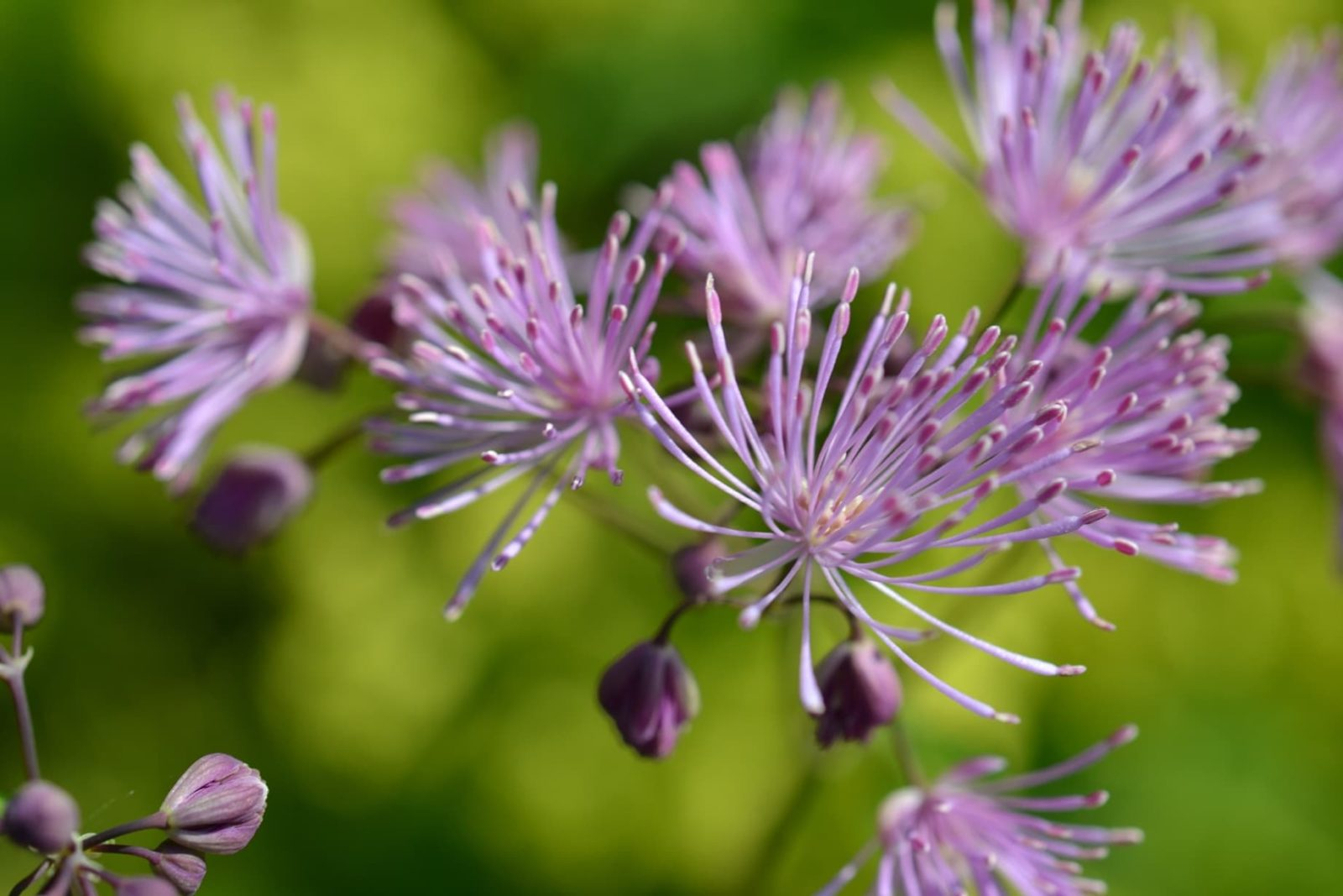 purple thalictrum blooms
