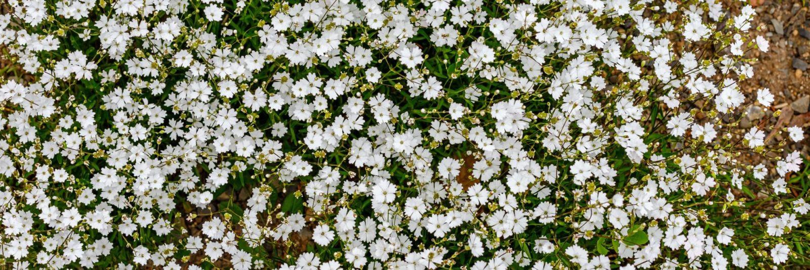 small white Silene alpestris flowers
