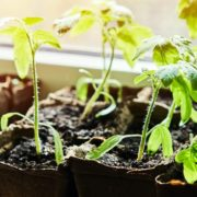 cucumber and tomato seedlings in pots
