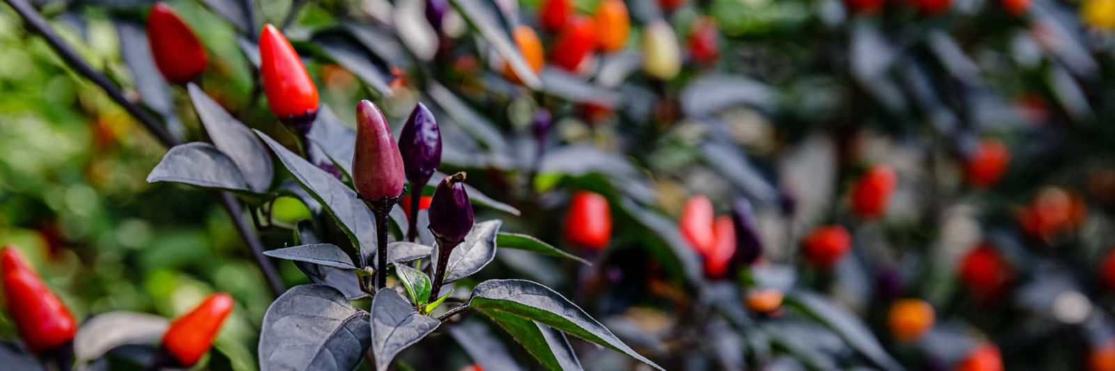 pepper plant fruiting