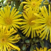 Inula hookeri flower heads
