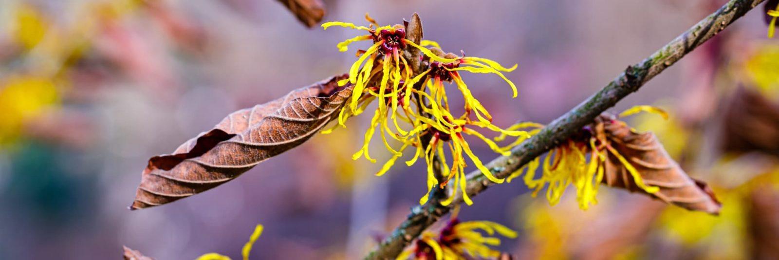 yellow witch hazel shrubs