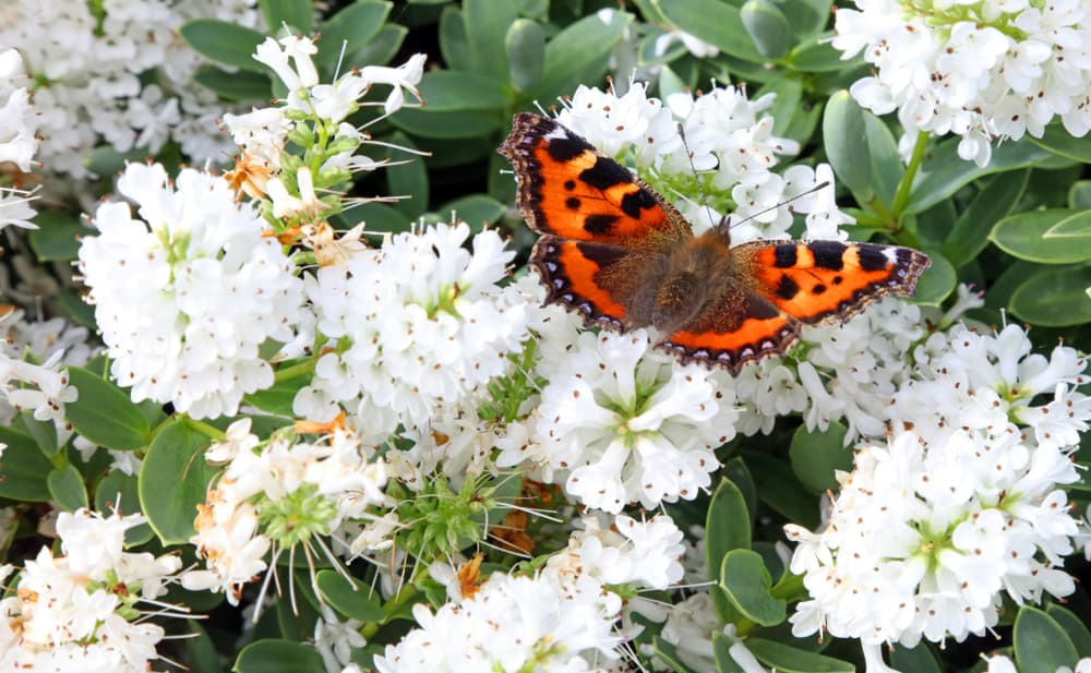 an orange butterfly sat on white hebe blooms