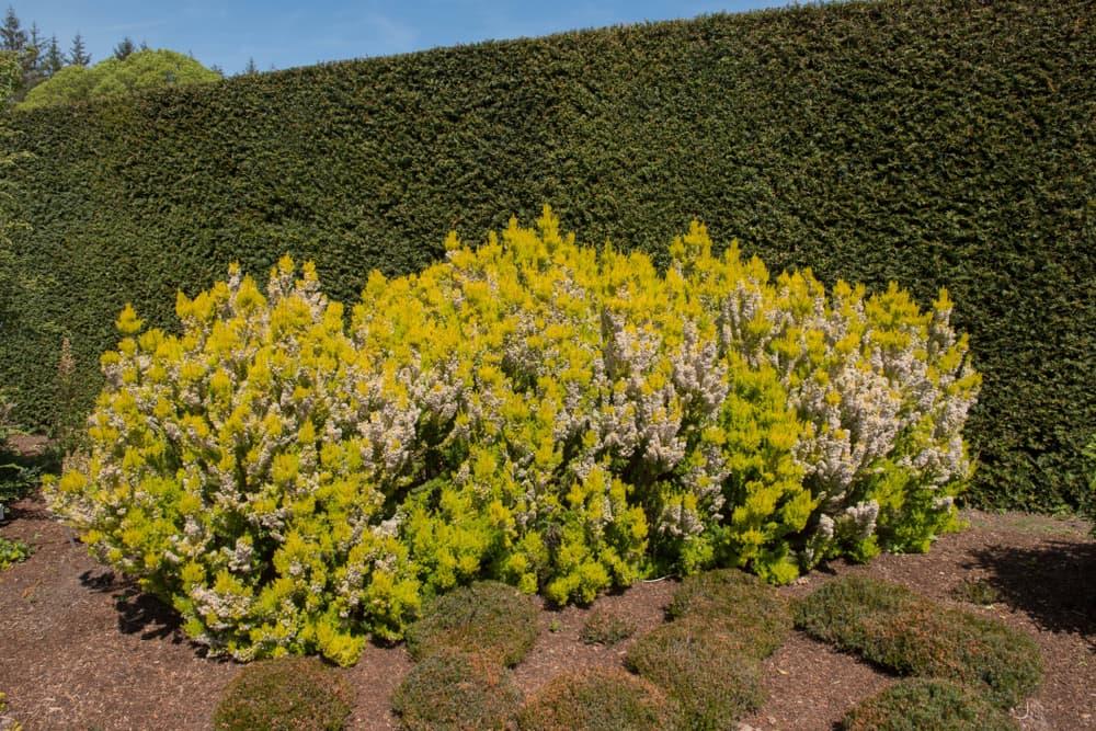 tree heather flowering in spring