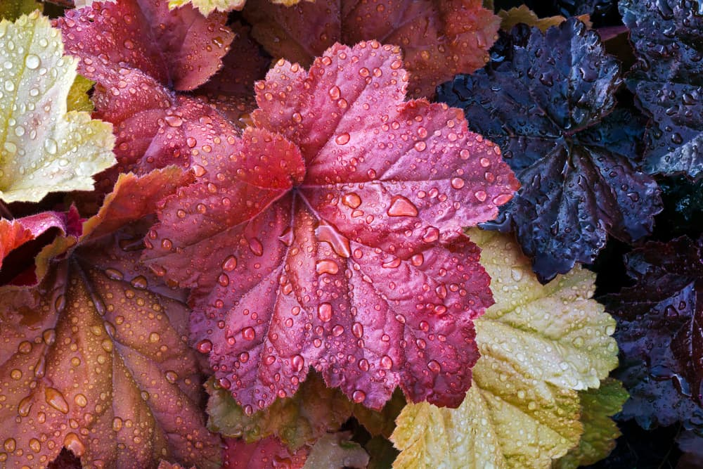 Coral Bells leaves wet with raindrops