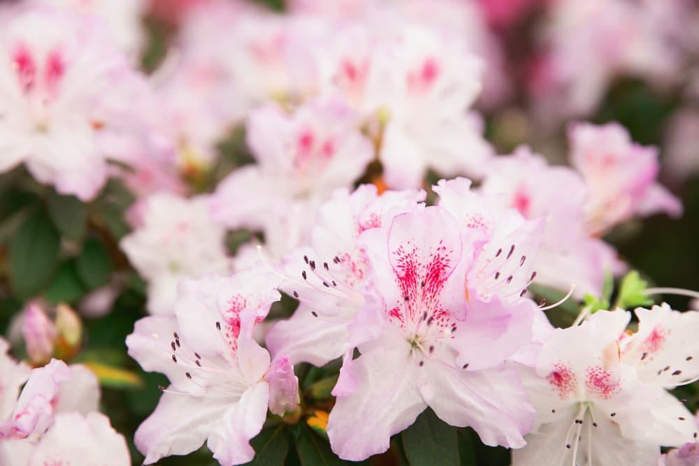 off-pink azalea blooms