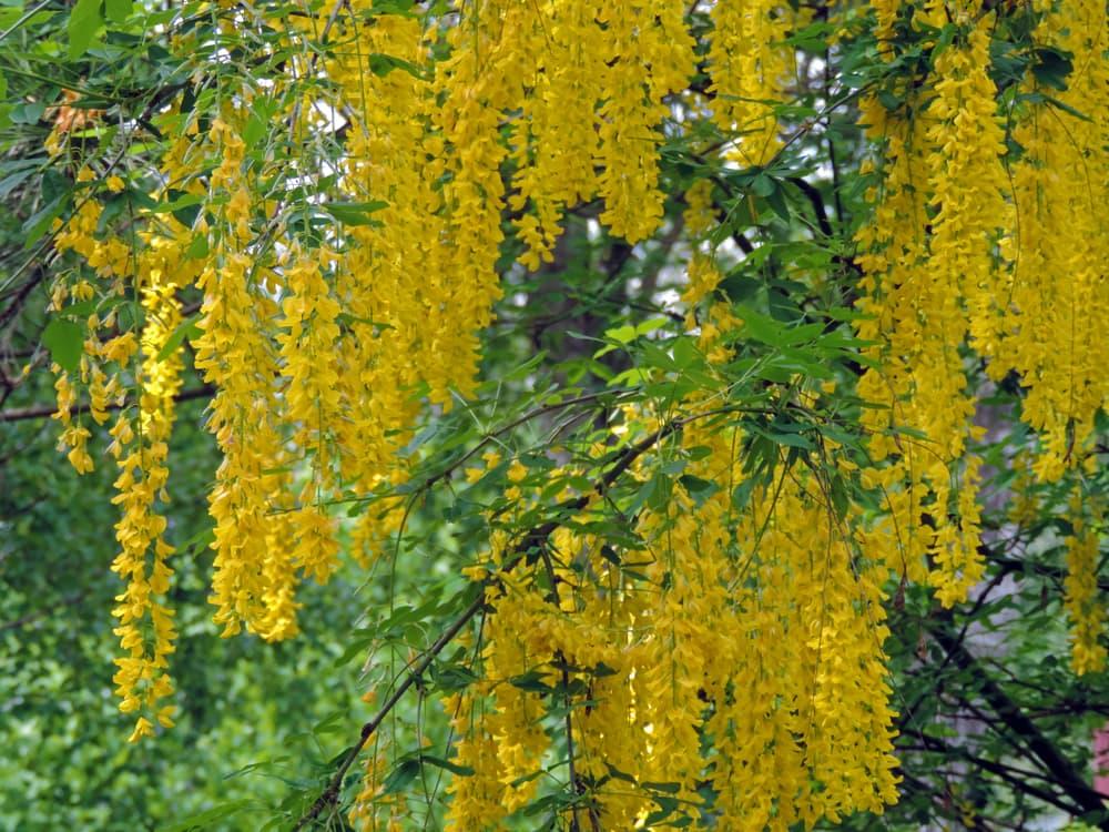 racemes of yellow laburnum blossoms