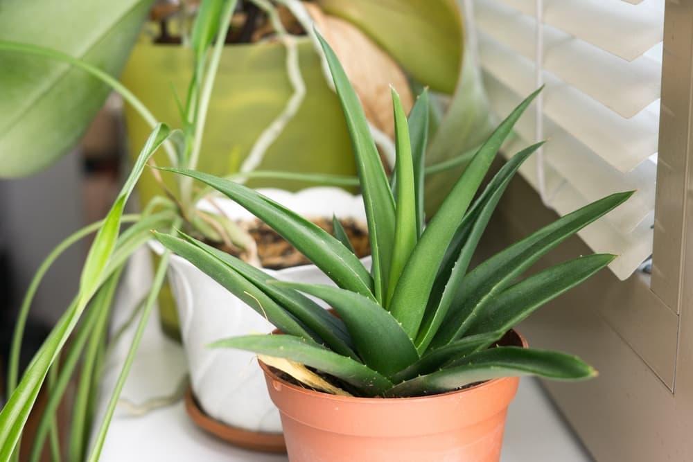 an aloe vera plant in a terracotta pot sat on a windowsill