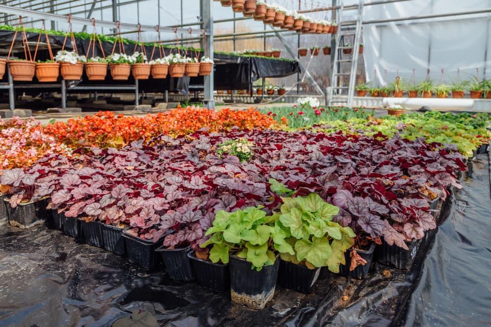 heuchera plants in pots in a nursery