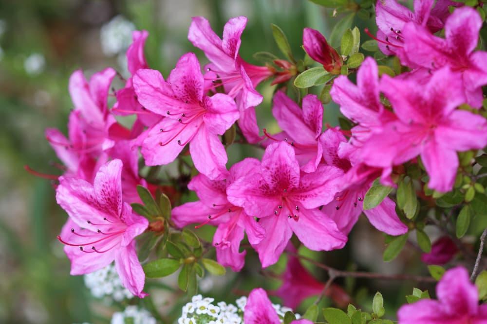 pink Azalea japonica