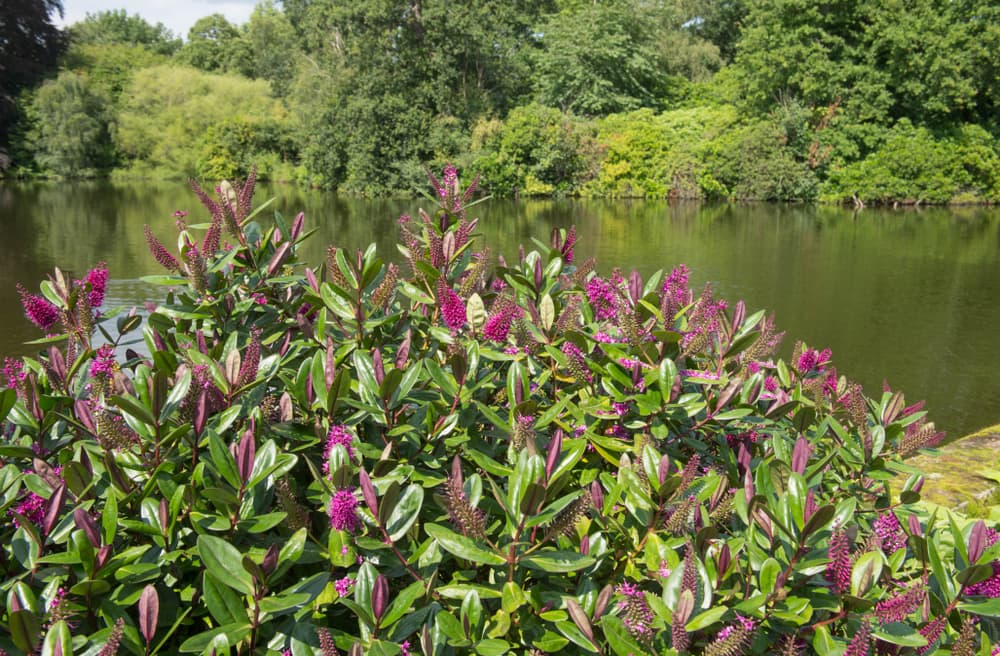 flowering hebe bushes with a lake in the background