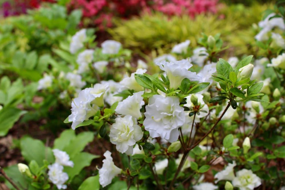 white Japanese Azalea 'Schneeperle' shrub in focus