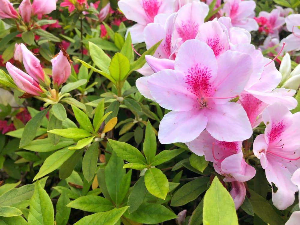Pink evergreen azalea flowers with green foliage