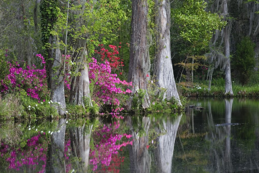azalea bushes growing under oak trees with a lake in the foreground