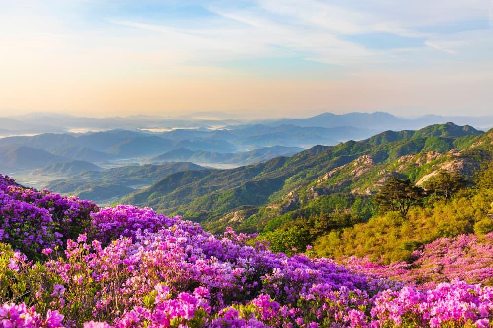 Pink royal azalea blossoms on Hwangmaesan Mountain