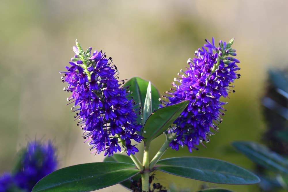 purple hebe flowers in bloom