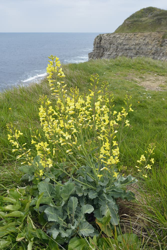 wild cabbage of dorset cliff side