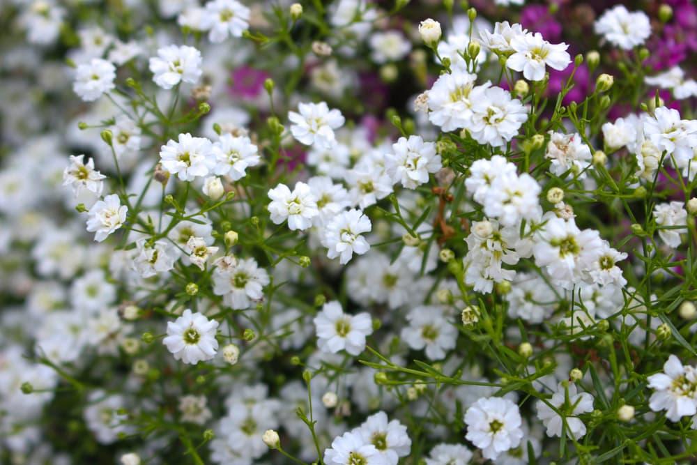 Gypsophila elgans in bloom