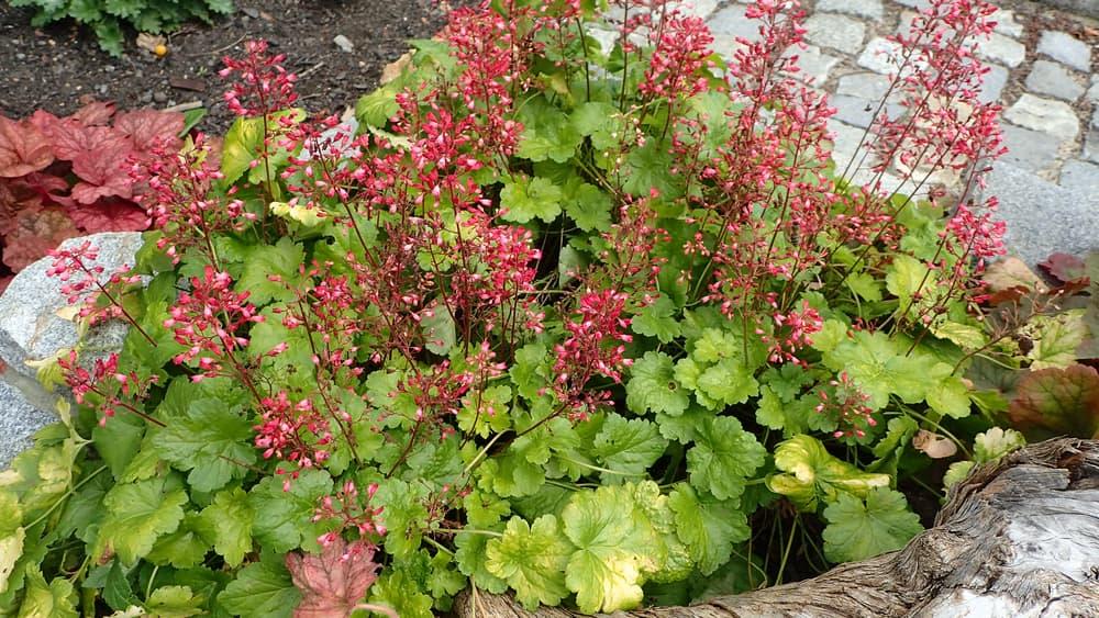 red heuchera flowers with green foliage