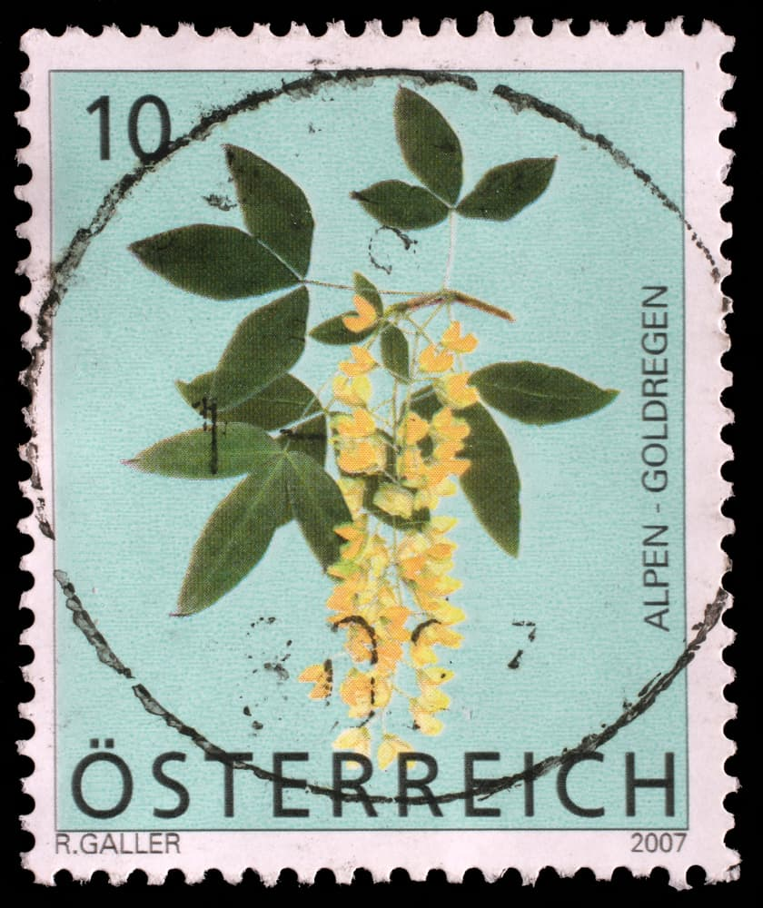 laburnum flowers illustrated on a Croatian stamp