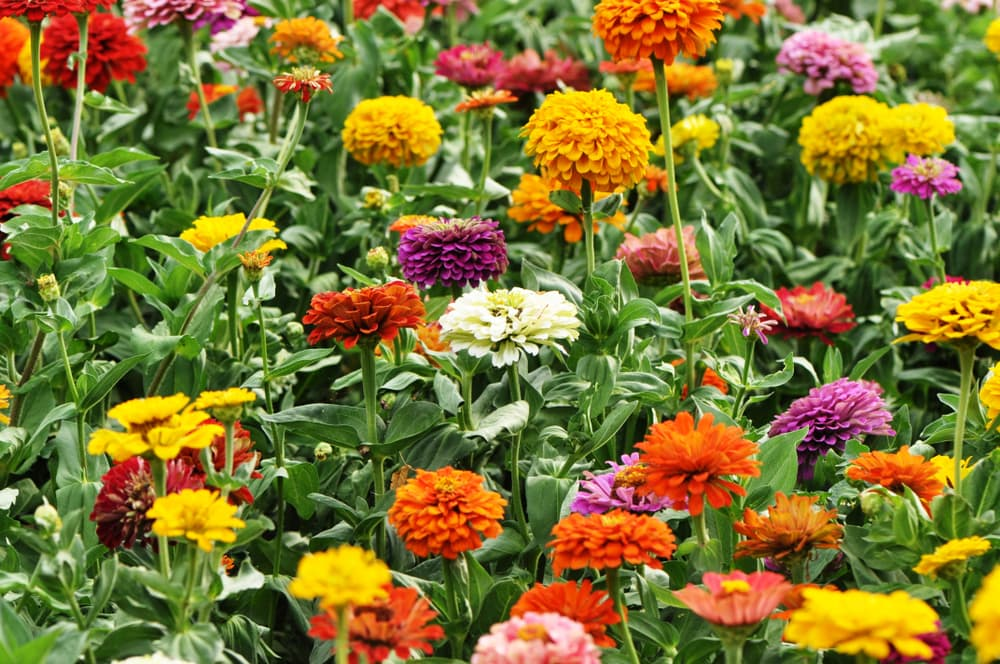 zinnia flowers in a multitude of colours