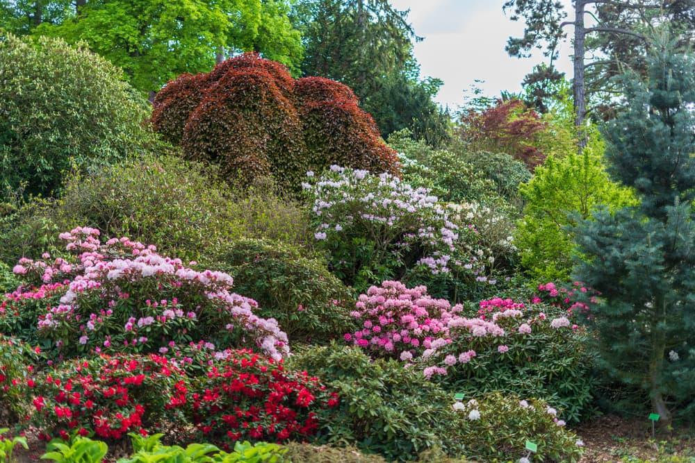 Rhododendron and azalea bushes in a summer garden