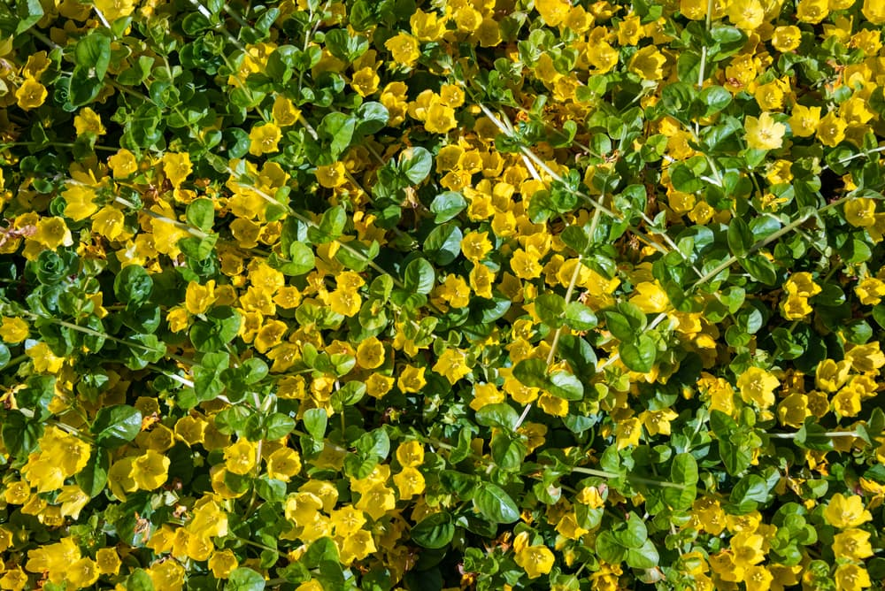 yellow flowers and green leaves of moneywort plant