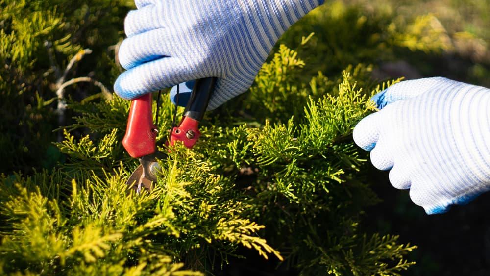 hands pruning tree heather
