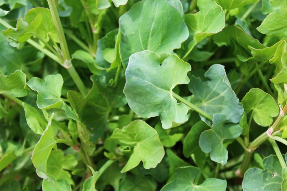 Rumex scutatus leaves