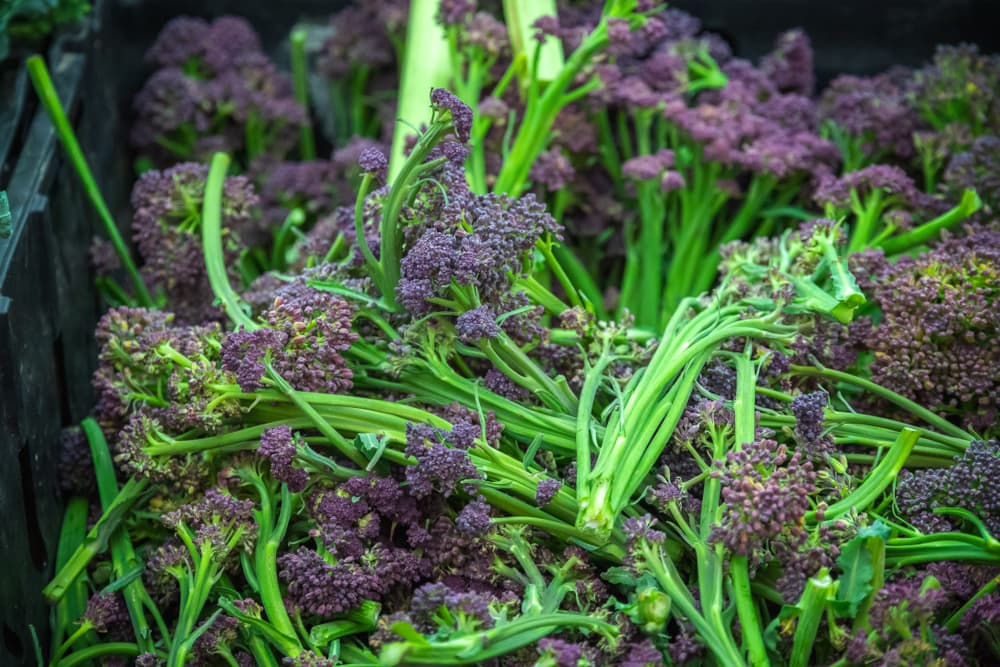 freshly harvested purple broccoli in a plastic container