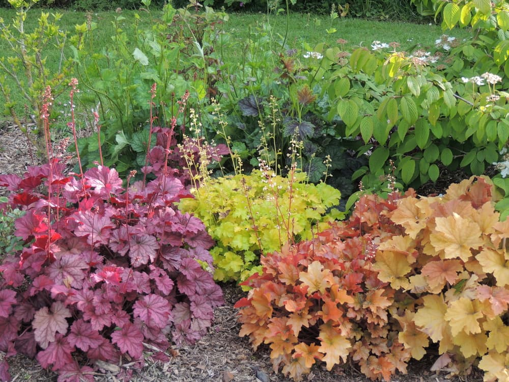 purple, green and autumnal red coloured heuchera leaves