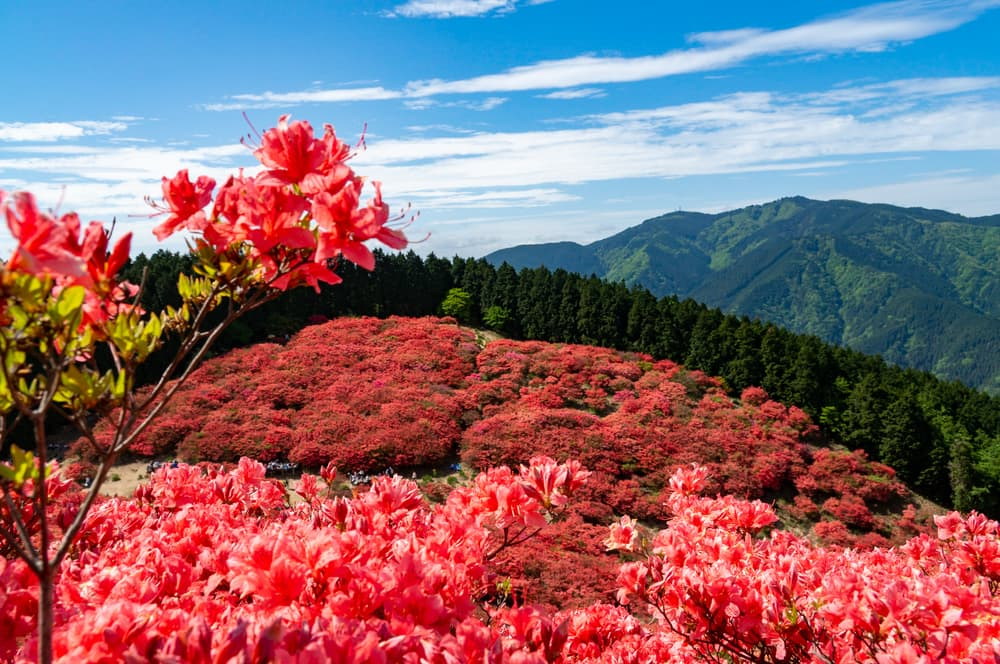 red azalea blooming with trees in the background on Mt. Katsuragi in Japan