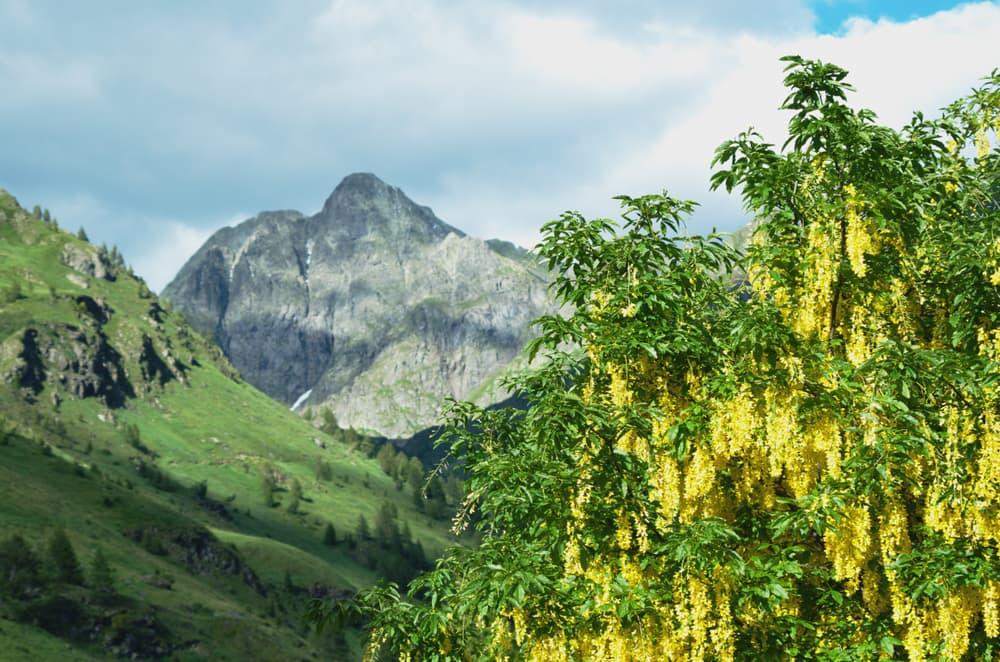 alpine laburnum shown against backdrop of the Alps